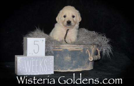 Theo Piper/Ego #123018 Birth to Five Weeks Photo Gallery English Cream Golden Retriever Puppies for Sale Wisteria Goldens Bred with H.E.A.R.T. AKC Registered with Pedigree Foundational Start and Starter Training
