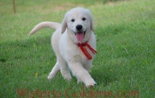 Harley Red Boy Sunny 04-09-2019 english cream golden retriever puppy wisteria goldens