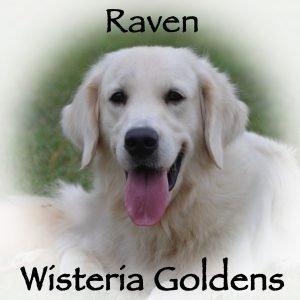 Wisteria White Raven English Cream Golden Retriever