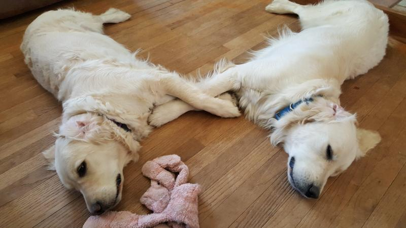 happy families, abby, tucker, puppy updates, english cream golden retriever