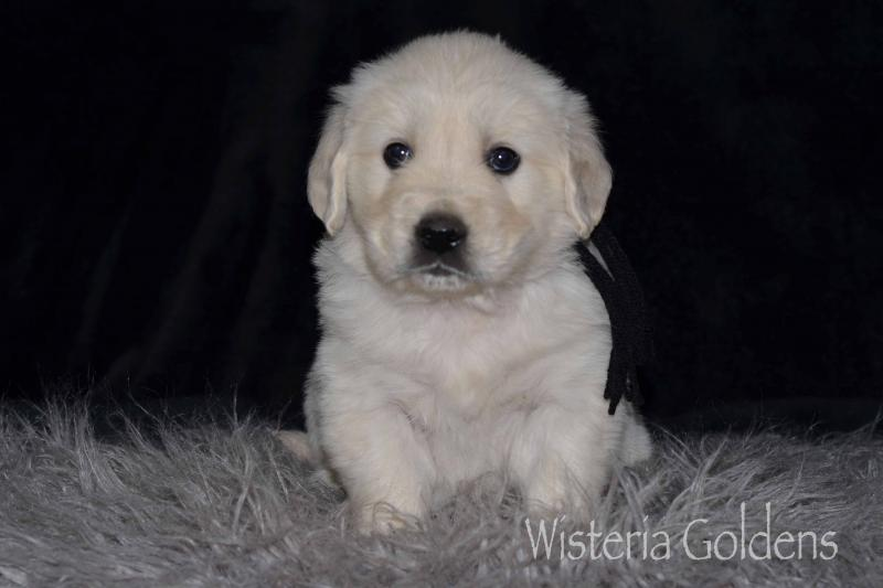 Keeva/Chance #keeva100819 English Cream Goldens Wisteria Goldens puppies for sale adoption. Raised as part of our family until they become part of yours.