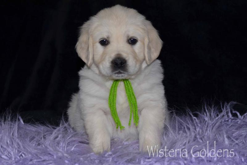 Keeva/Chance English Cream Goldens Six Week puppy pictures. Wisteria Goldens are raised as part of our family until they become part of yours. #keeva100819 #englishcreamgoldenretriever #puppiesforsale