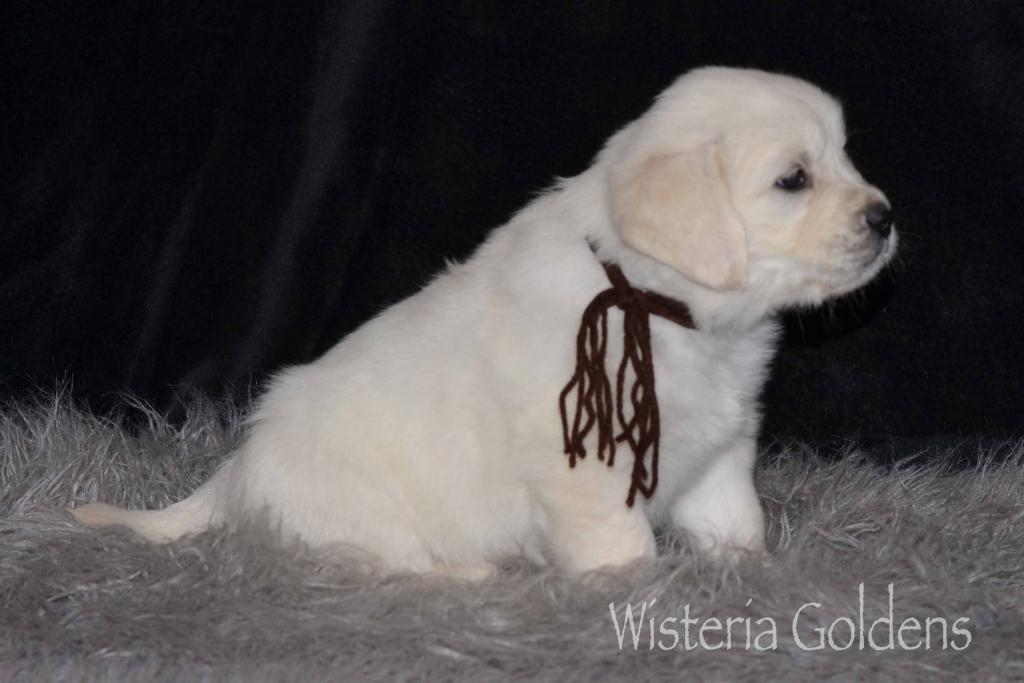 Marley Chance Six Week English Cream Golden Retriever Puppy Pictures Wisteria Goldens Our English Cream Goldens are raised as part of our family until they become part of yours.