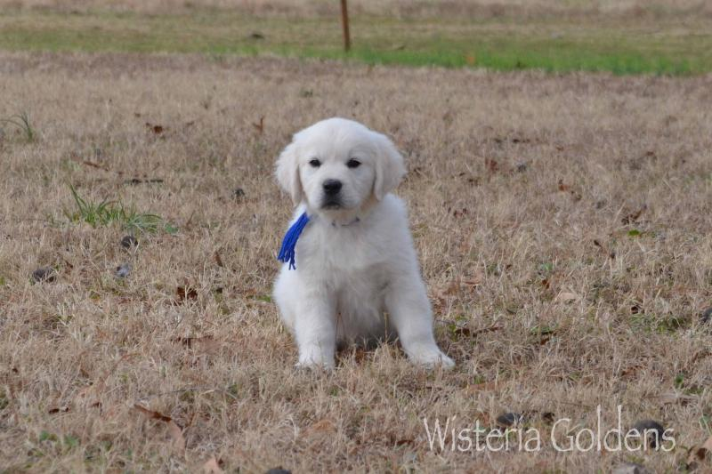 Blue Boy Buddy (Marley Blue Boy) Trained Puppy Available #marley100719