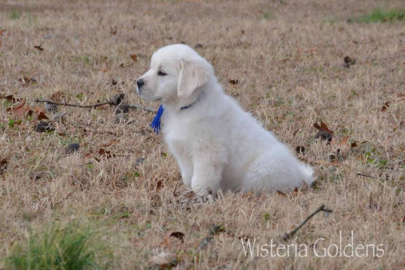 Buddy (Marley Blue Boy) Trained Puppy Available #marley100719