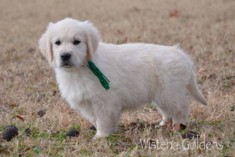 Murphy Green Boy Keeva 10-08-2019 English Cream Golden Retriever Puppy for sale Wisteria Goldens Part of our family until part of yours #keeva100819