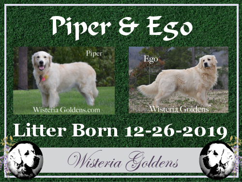 Piper Litter Born 12-26-2019 #piper122619 English Cream Golden Retriever puppies for sale Wisteria Goldens we raise our goldens as part of our family until they become part of yours