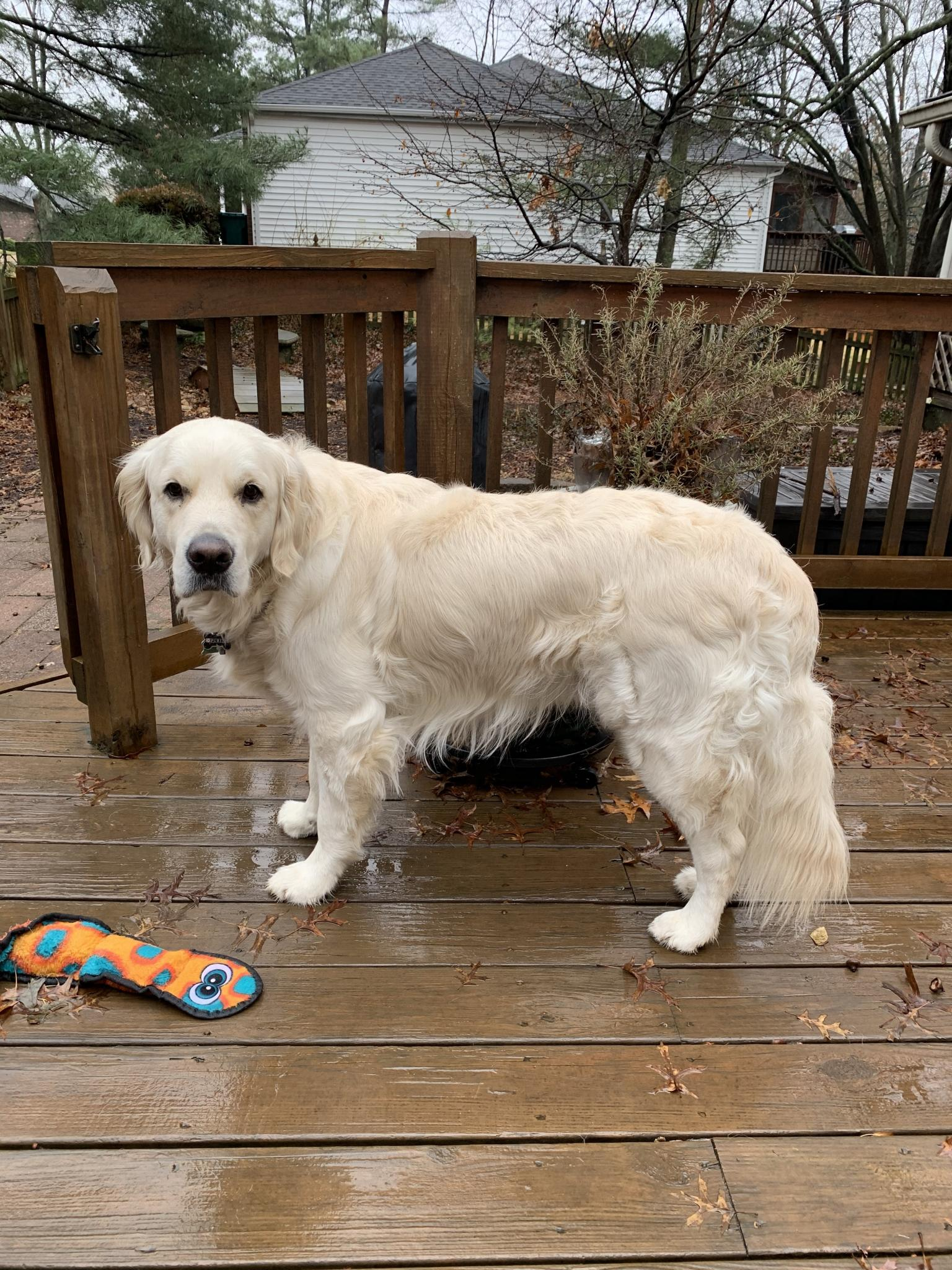 Mickey English Cream Golden Retriever Previous Puppies Happy Families Updates Litter #sunny010718