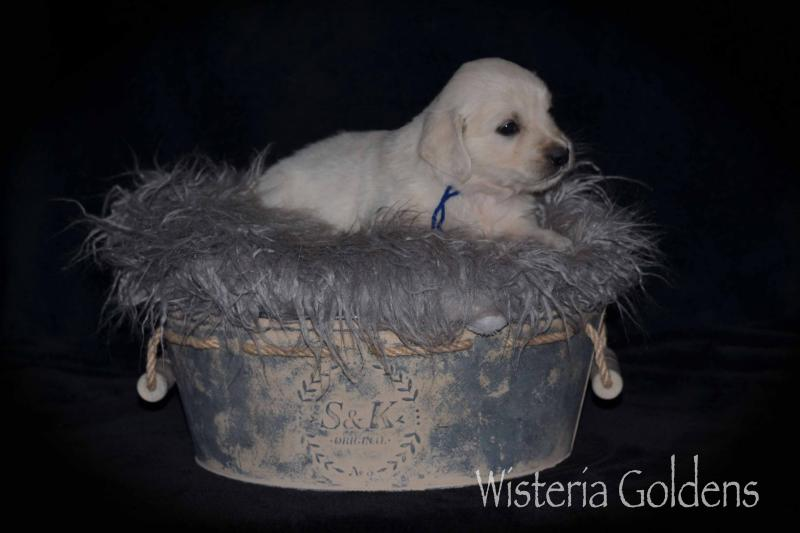 Jazz/Ego Litter English Goldens Wisteria Goldens puppies, puppy pictures #jazz121919