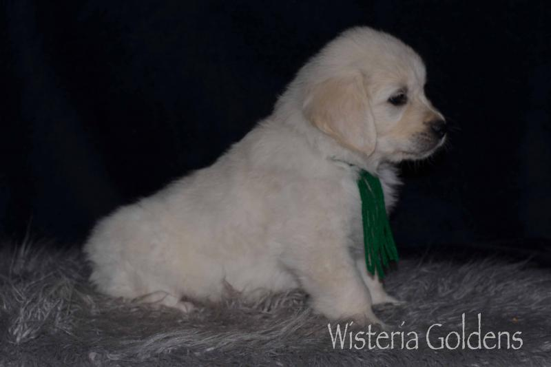 Jazz Litter Six Week Pictures English Cream Golden Retriever puppies Wisteria Goldens raised as part of our family until they are part of yours #jazz121919