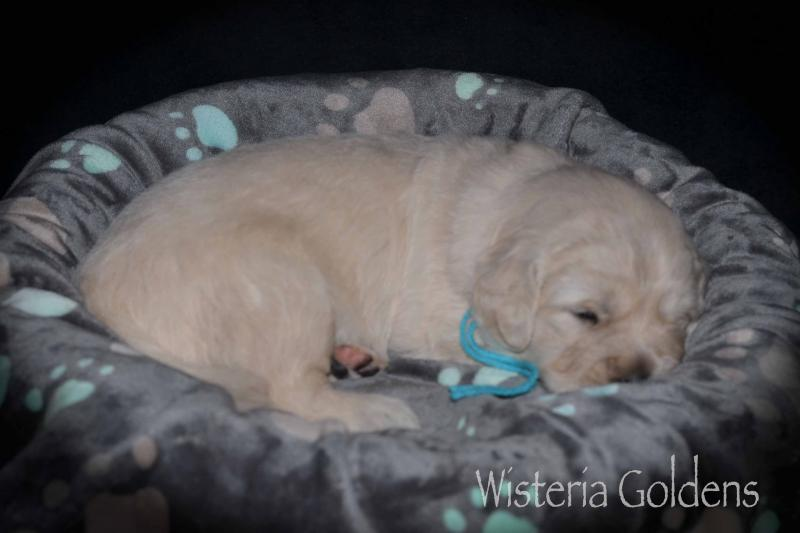 Piper Litter Three Week Pictures #piper122619 English Cream Golden Retriever puppies Wisteria Goldens Three Week Pictures