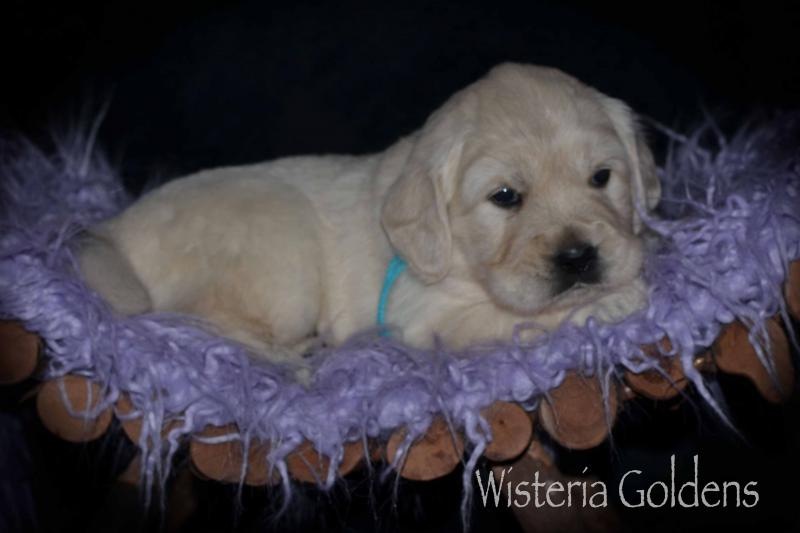 Piper Litter English Goldens Wisteria Goldens puppies, puppy pictures #piper122619