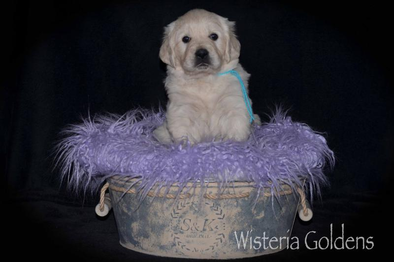 Piper Litter Born 12-26-2019 English Cream Golden Retriever Puppy Pictures Wisteria Goldens raised as part of our family until they become part of yours #piper122619