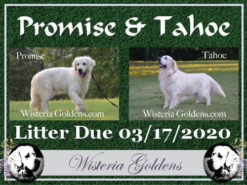 Available Puppies English Cream Golden Retriever Promise Tahoe Litter Due 03-17-2020 wisteria goldens