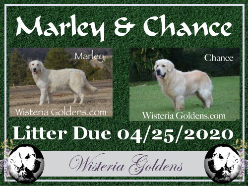 Available Puppies Marley Chance you will find out what is an English Golden Retriever and have the question answered, Why do we call them English Cream Goldens? You'll find information about us as Golden Retriever Breeders, current and previous puppy pictures and pedigrees of our Adult English Cream Goldens.