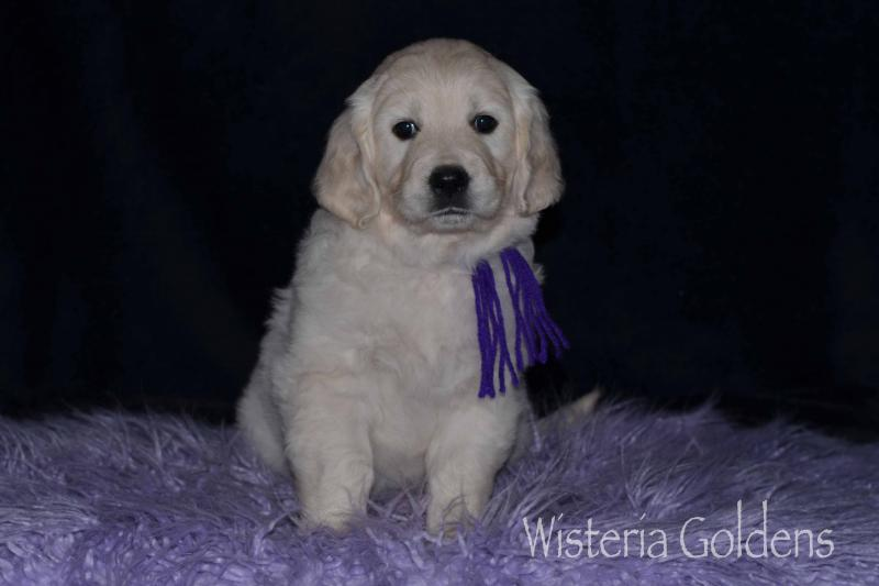 Piper litter six week pictures English Cream Golden Retriever puppies Wisteria Goldens Foundational Start