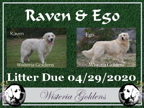 Available Puppies Raven Ego you will find out what is an English Golden Retriever and have the question answered, Why do we call them English Cream Goldens? You'll find information about us as Golden Retriever Breeders, current and previous puppy pictures and pedigrees of our Adult English Cream Goldens.