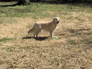 Henry Honor Ego Six Years Happy Family Update. Wisteria Goldens English Cream Golden Retriever Puppies.english cream golden retriever community, Happy Families, Henry, puppy updates, wisteria goldens