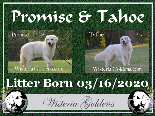 available puppies Promise Litter Born 03-16-2020 English Cream Golden Retriever puppies for sale Wisteria Goldens