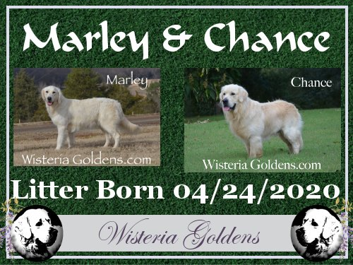Marley Litter Born 04-24-2020 #marley042420 English Cream Golden Retriever puppies Wisteria Goldens raised as part of our family until they become part of yours