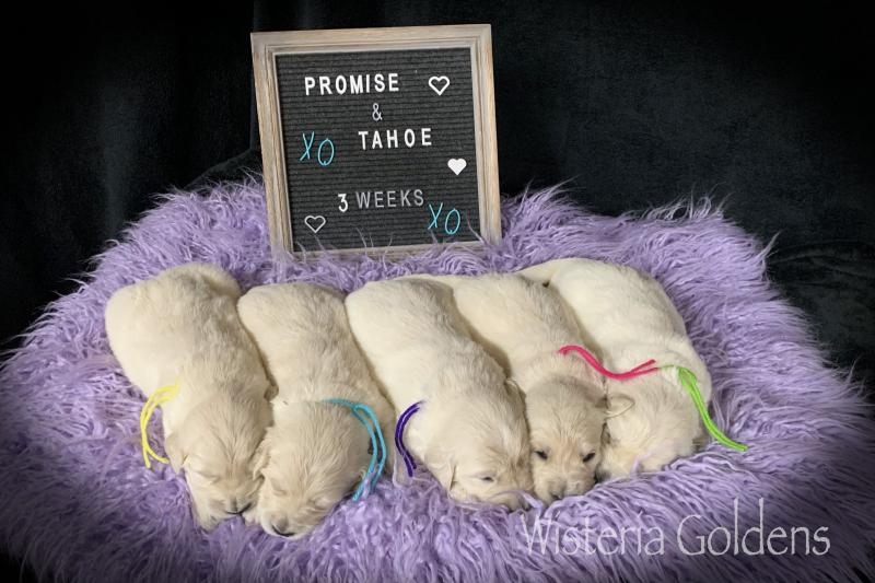 Promise Litter Born 03-16-2020 Three Week Pictures #promise031620 Promise Tahoe English Cream Golden Retriever puppies Wisteria Goldens are raised as part of our family until they become part of yours