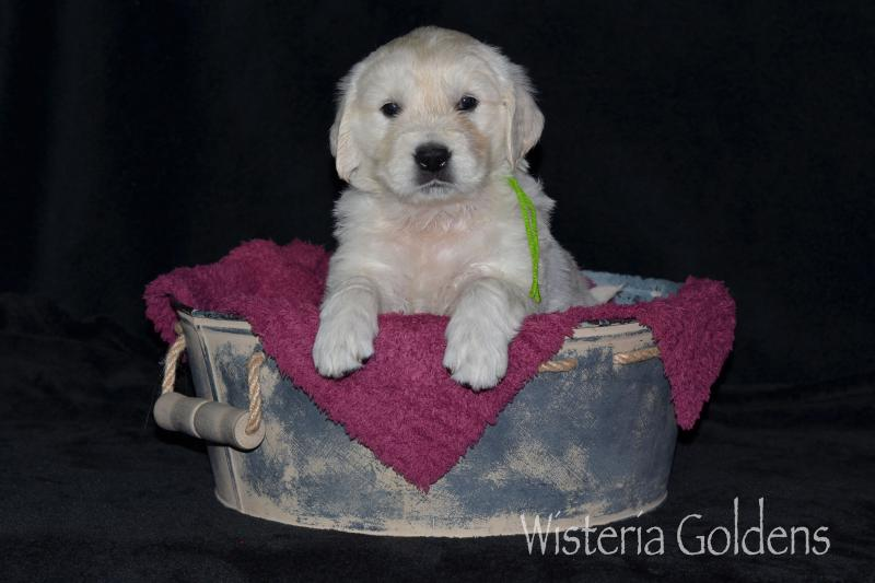 Promise/Tahoe – Litter Born 03/16/2020. 5 girls and 7 boys. Five Week Pictures English Cream Golden Retriever Wisteria Goldens raised as part of our family until they become part of yours.