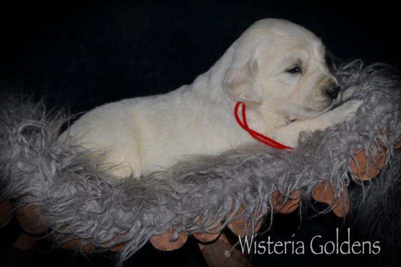 Promise Litter Born 03-16-2020 #promise031620 English Cream Golden Retriever puppies Wisteria Goldens Pictures, puppy training tips, raised as part of our family until they become part of yours. wisteriagoldens.com/contact-us/