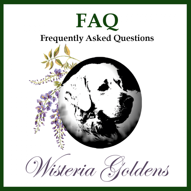 How FAQ - Frequently Asked Questions about How to adopt, pay for, feed, and welcome a puppy home. English Cream Golden Retriever puppies are raised as part of our family until they become part of yours. Wisteria Goldens