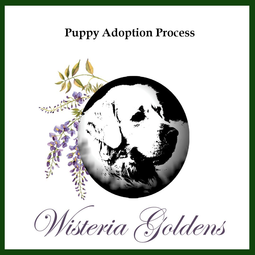 Puppy Adoption Process Wisteria Goldens English Cream Golden Retriever puppies are raised as part of our family until they become part of yours.