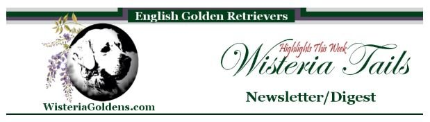 Newsletter Wisteria Tails Highlights Newsletter/Digest Subscribe to Updates. English Cream Golden Retriever Wisteria Goldens.