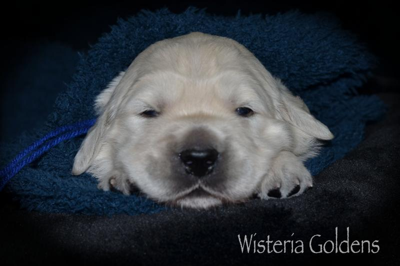 Brighton Litter Born 05-12-2020 Two Week Pictures