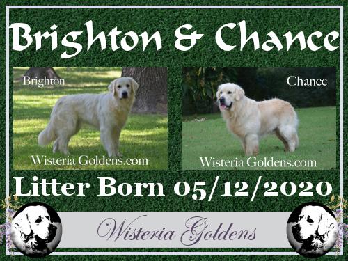Brighton Litter Born 05-12-2020 English Cream Golden Retriever puppy pictures