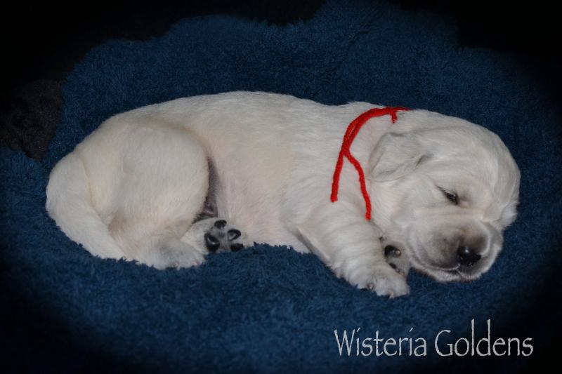 Two week old puppy pictures English Goldens Wisteria Goldens (English Cream Golden Retriever Puppy Picture)