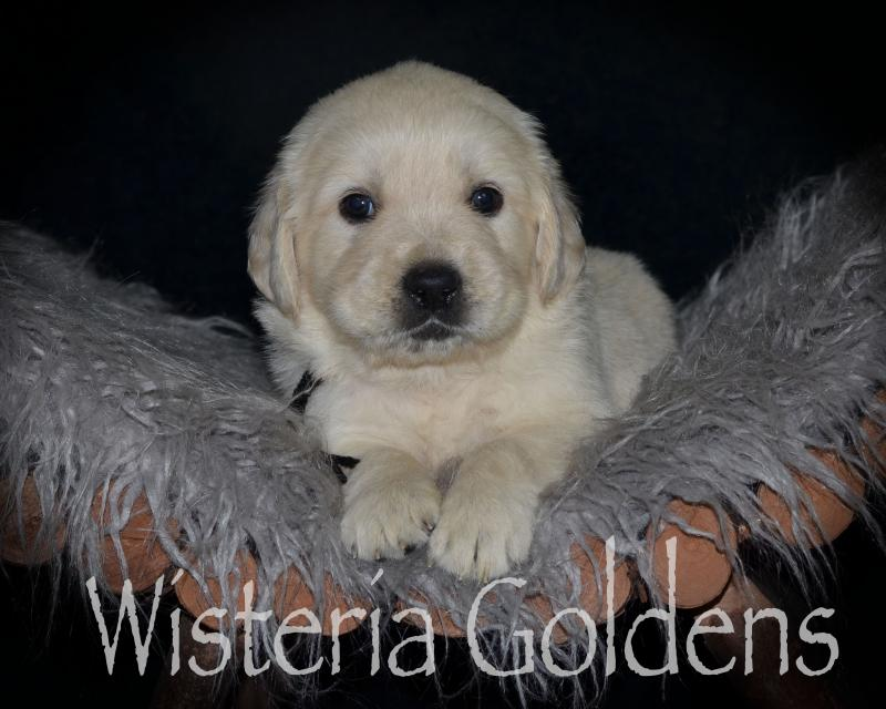 Four Week Pictures English Cream Golden Retriever All Wisteria Goldens puppies receive lots of love, attention, socialization, and are started on our Foundational Start Developmental Puppy Program. We provide a consistent routine for giving our puppies a great foundational start in order to become the best possible member of your family.