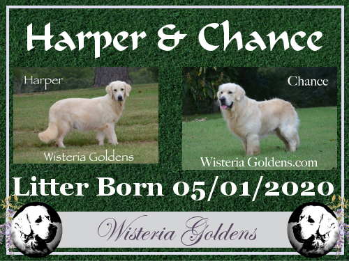 Harper Litter Born 05-01-2020 Harper/Chance English Cream Golden Retriever puppies for sale Wisteria Goldens raised as part of our family until they become part of yours.
