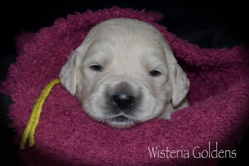 Two Week Puppy Pictures Harper Litter Born 05/01/2020 #harper050120 English Cream Golden Retriever puppies raised as part of our family until they are part of yours at Wisteria Goldens