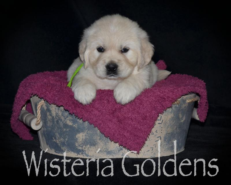 #marley042420 English Cream Golden Retriever Puppy Pictures