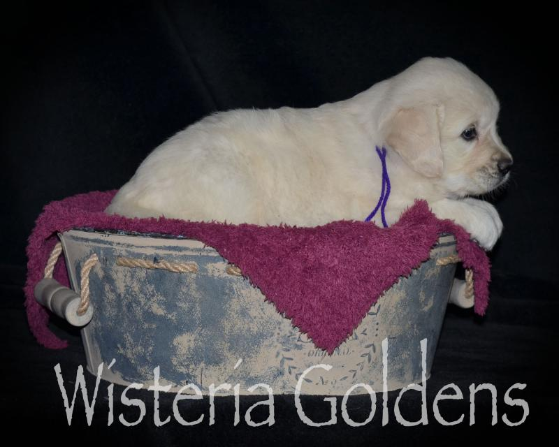 #marley042420 English Cream Golden Retriever Puppy Pictures Wisteria Goldens