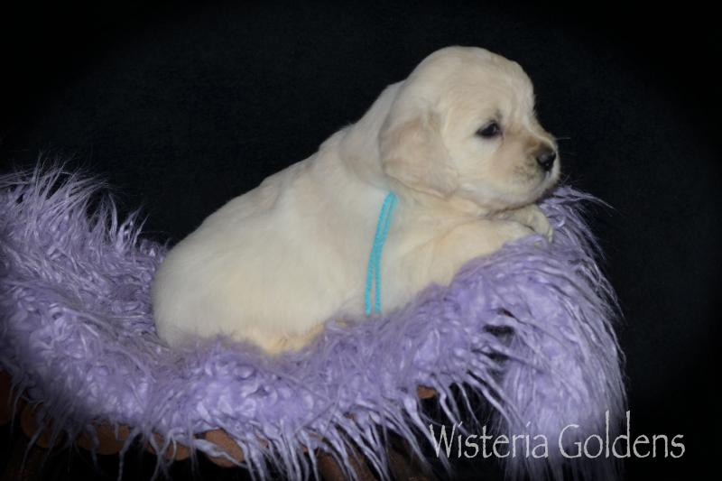 2020 Puppies 4-24-20 Marley-Chance Marley #marley042420 Litter Born 4-24-20 Four Week Pictures English Cream Golden Retriever puppies Wisteria Goldens