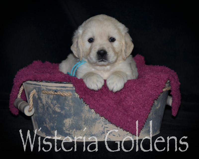 Marley Litter Born 04-24-2020 #marley042420 English Cream Golden Retriever Puppy Pictures