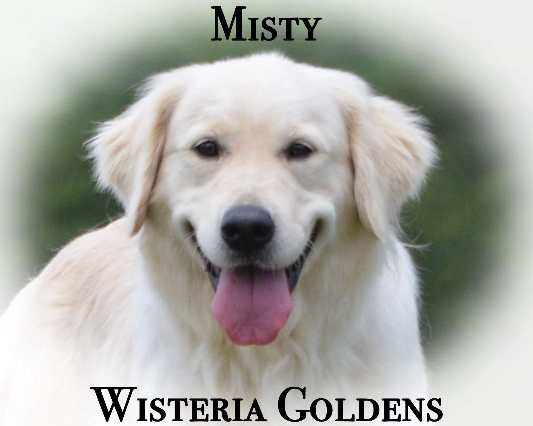 Meet Our Girls Misty English Cream Golden Retriever Wisteria Goldens