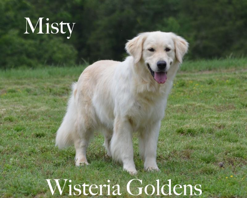Misty is all smiles. (She literally looks like she is smiling). She is an outgoing girl that loves to be with you. She is a playful girl with a calm sweet nature. She has a cream coat with a beautiful golden touch. She a Wisteria Goldens raised 4th generation girl who's parents are Angel and Chance.