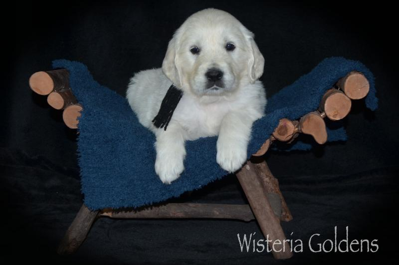 promise litter six week picture update English Cream Golden Retriever puppies Wisteria Goldens raised as part of our family until they become part of yours.