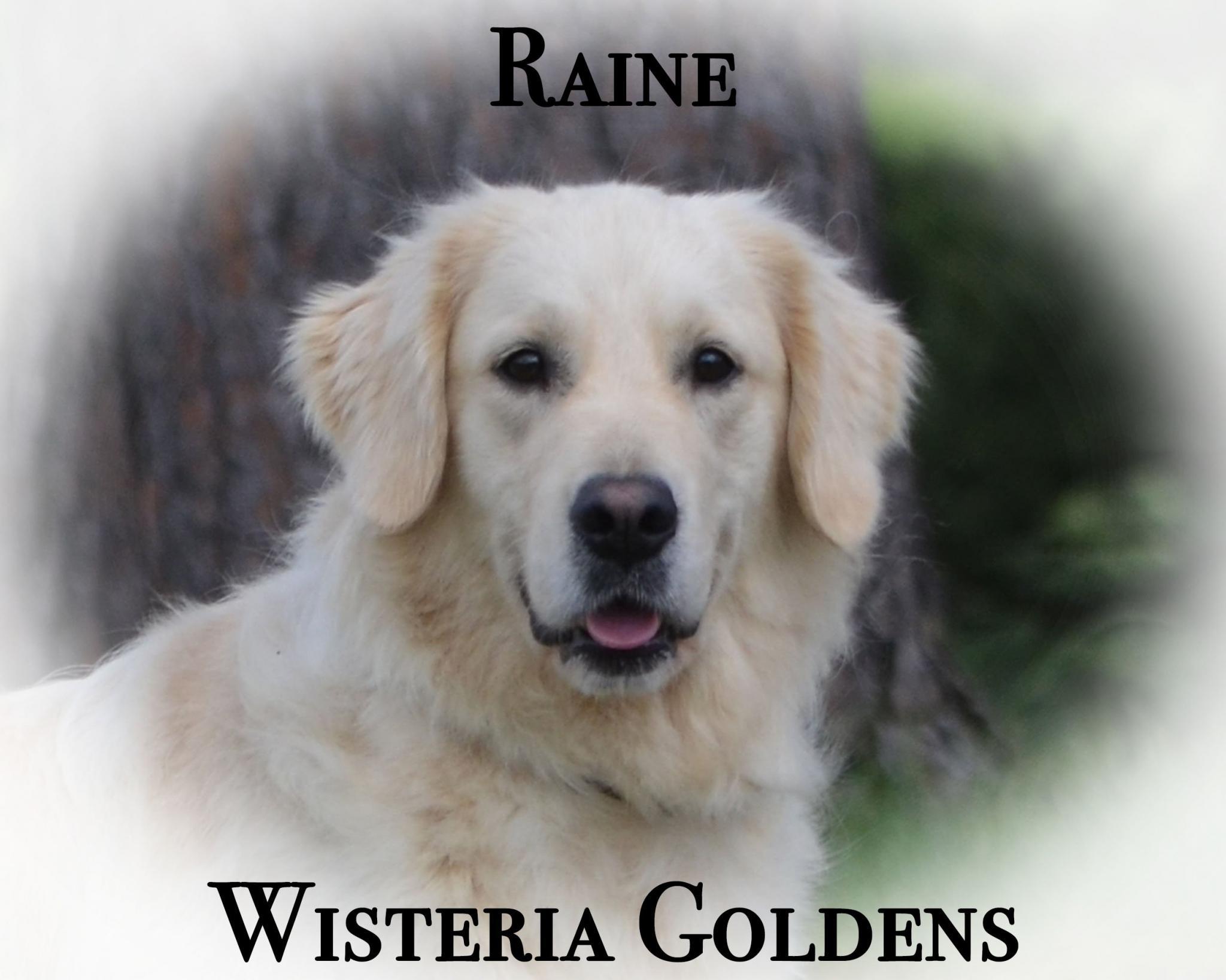 Our Dogs Wisteria Tropical Raine English Golden Retriever Wisteria Goldens Our Dogs