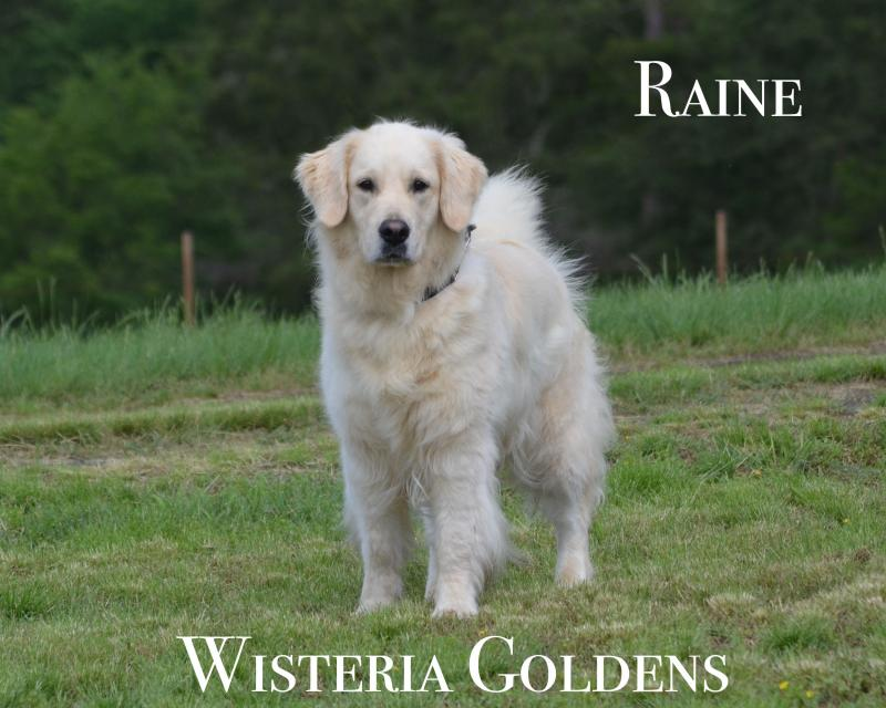 Raine Wisteria Goldens Our Girls Pedigree Health Clearance Summary and Personality. Our Goldens are raised as part of our family until they become part of yours.