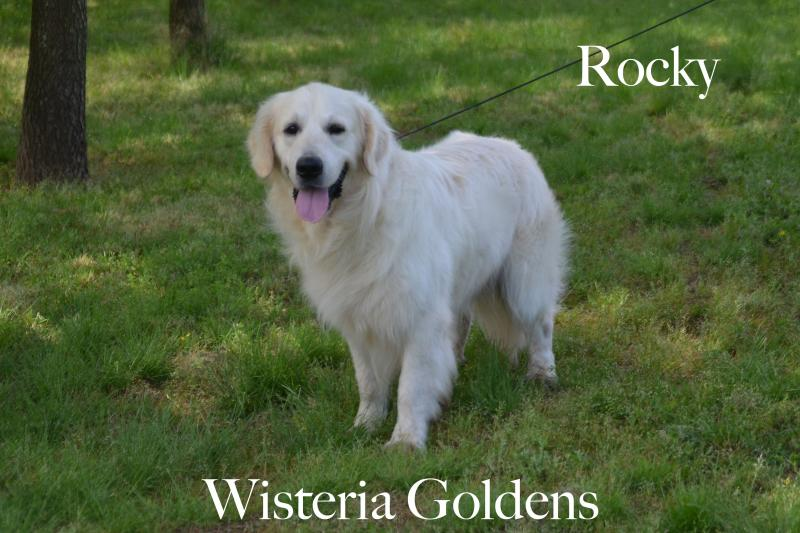 Lovers' Rock of Sunflower Valley English Cream Golden Retriever Wisteria Goldens Our Dogs