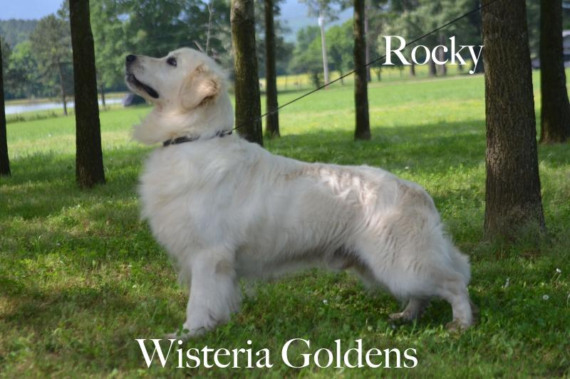Rocky Lovers' Rock of Sunflower Valley English Cream Golden Retriever Wisteria Goldens Our Dogs