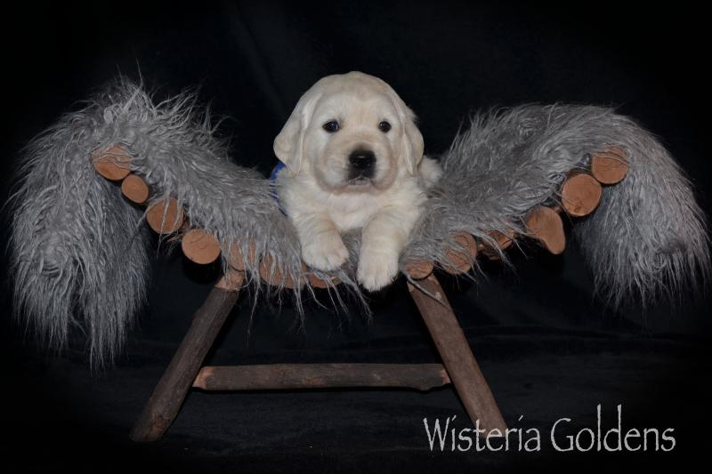 FOUR WEEK PICTURES puppy pictures English Goldens Wisteria Goldens (English Cream Golden Retriever Puppy Picture)