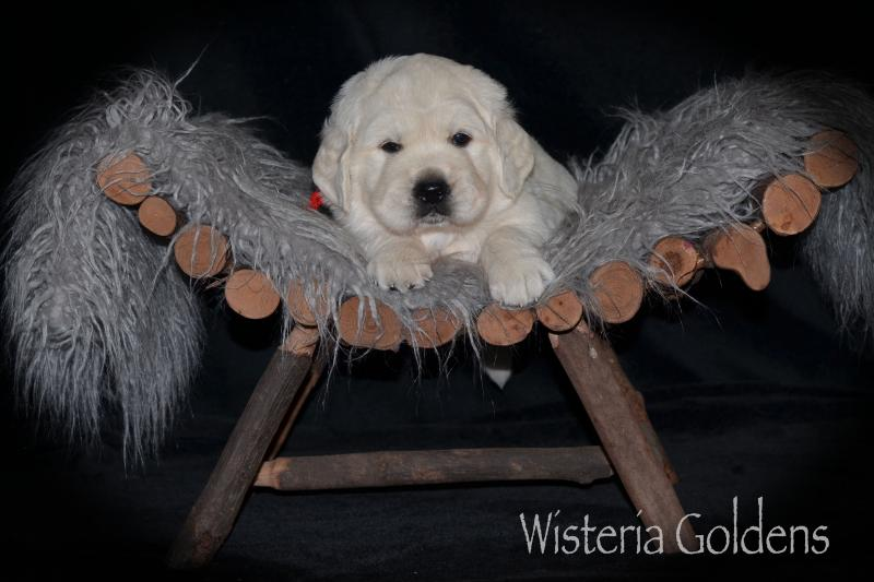 Brighton Litter 05/12/2020 FOUR WEEK PICTURES puppy pictures English Goldens Wisteria Goldens (English Cream Golden Retriever Puppy Picture)