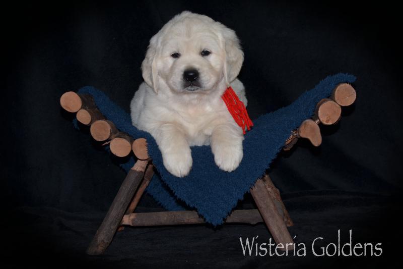 six week puppy pictures english cream golden retriever #brighton051220